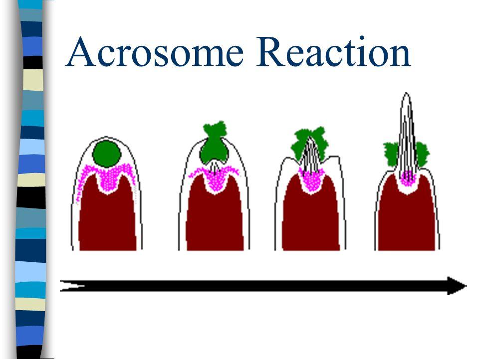 Acrosome Reaction