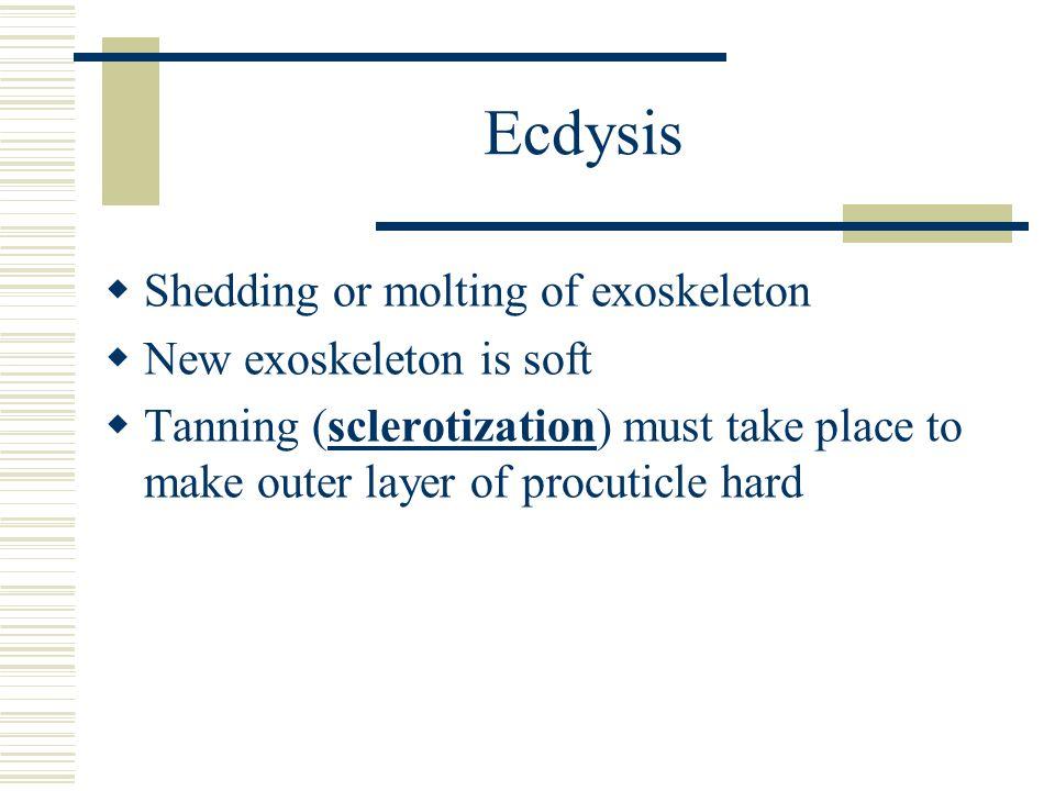 Ecdysis Shedding or molting of exoskeleton New exoskeleton is soft