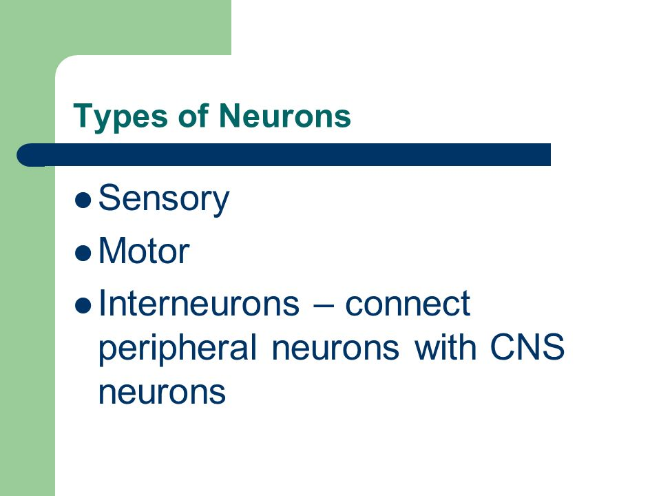 Interneurons – connect peripheral neurons with CNS neurons