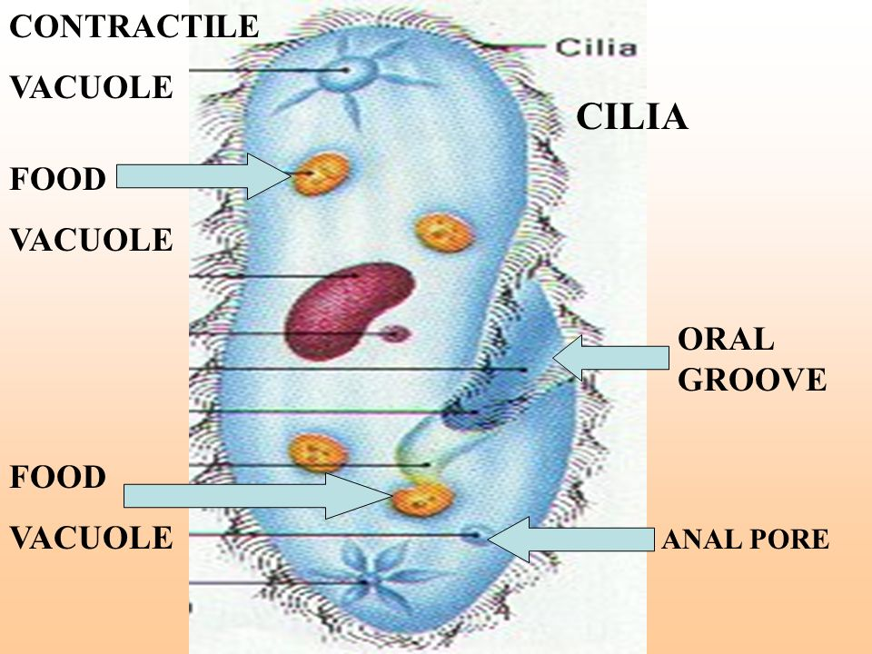 CILIA CONTRACTILE VACUOLE FOOD VACUOLE ORAL GROOVE FOOD VACUOLE