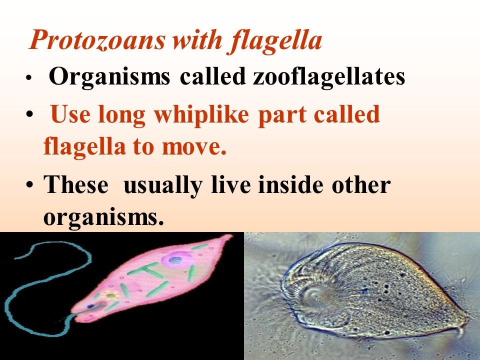 Protozoans with flagella