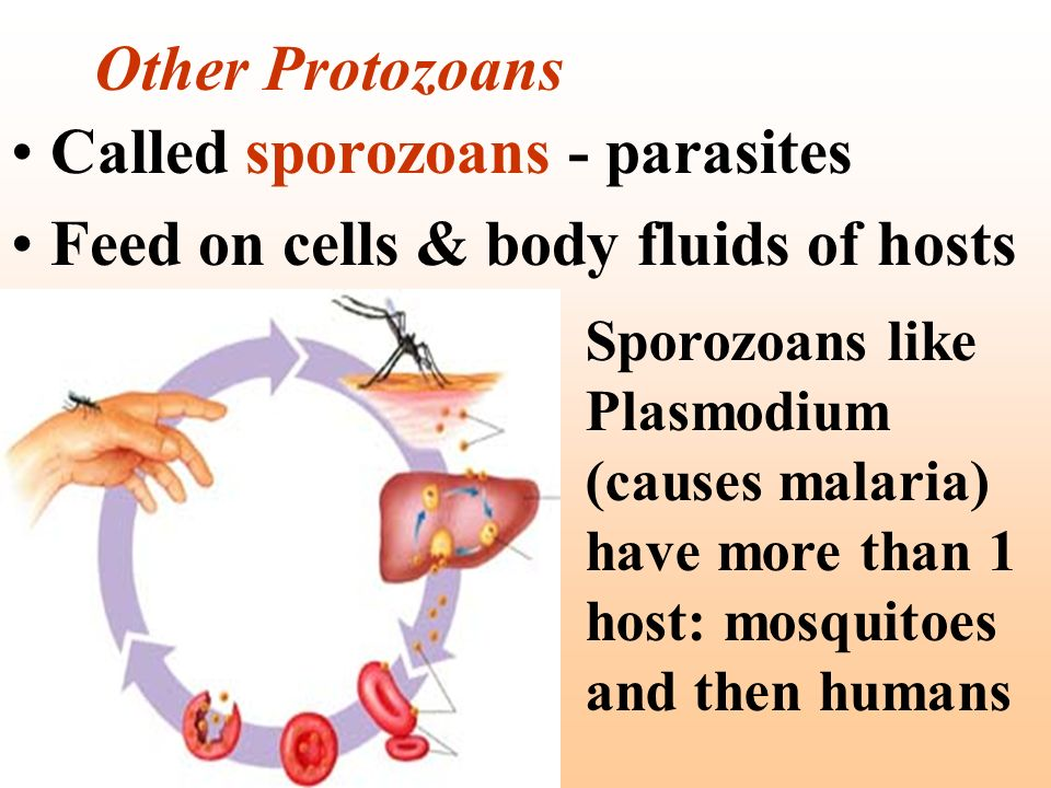 Called sporozoans - parasites Feed on cells & body fluids of hosts