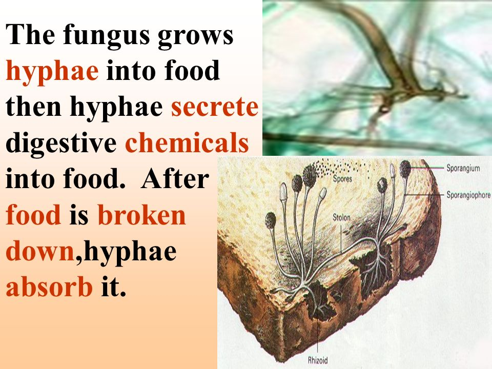 The fungus grows hyphae into food then hyphae secrete digestive chemicals into food.