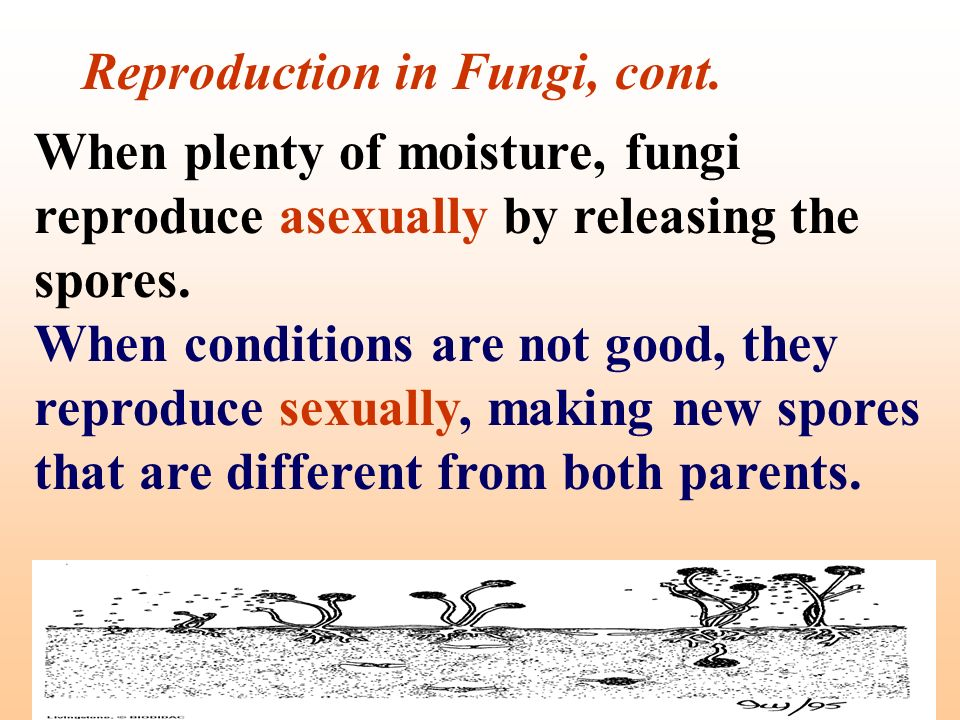 Reproduction in Fungi, cont.