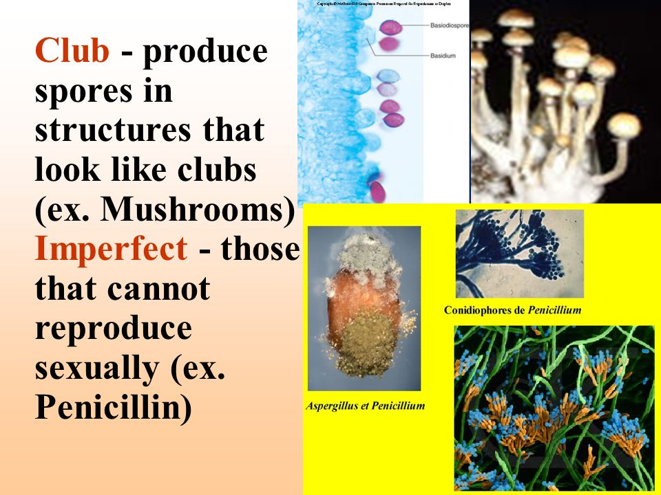 Club - produce spores in structures that look like clubs (ex