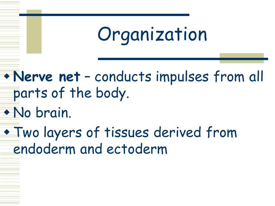 Organization Nerve net – conducts impulses from all parts of the body.