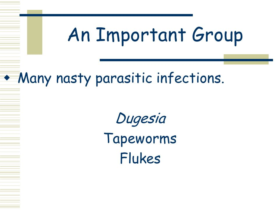An Important Group Many nasty parasitic infections. Dugesia Tapeworms