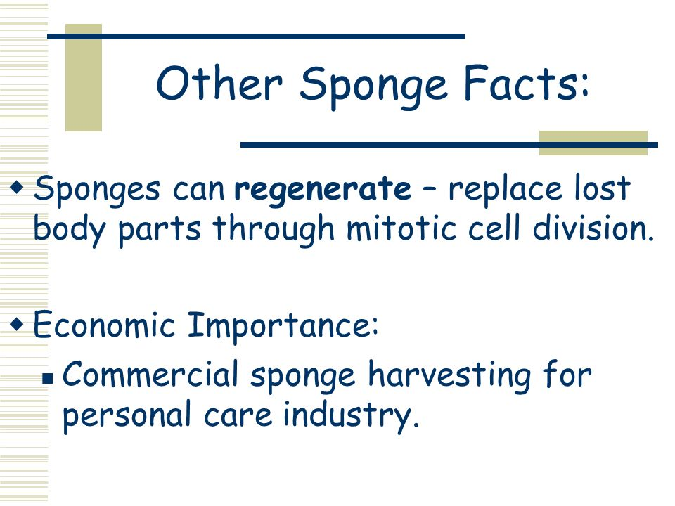 Other Sponge Facts:Sponges can regenerate – replace lost body parts through mitotic cell division. Economic Importance: