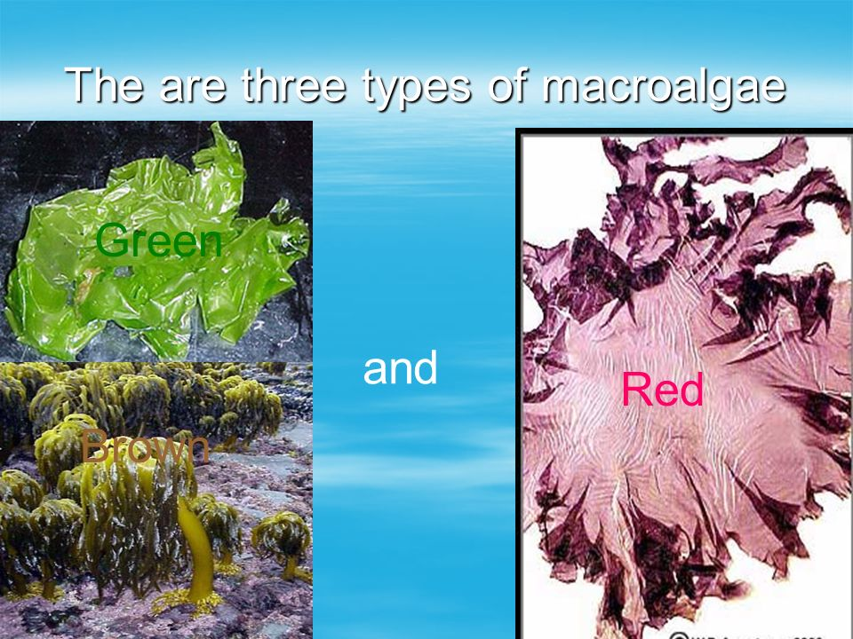 The are three types of macroalgae