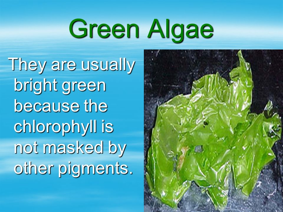 Green Algae They are usually bright green because the chlorophyll is not masked by other pigments.