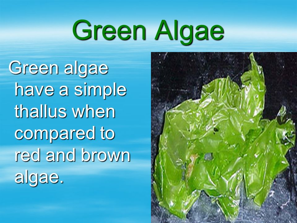 Green Algae Green algae have a simple thallus when compared to red and brown algae.