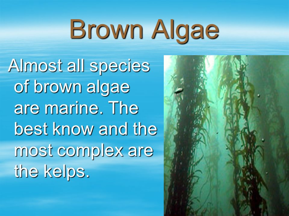 Brown Algae Almost all species of brown algae are marine.