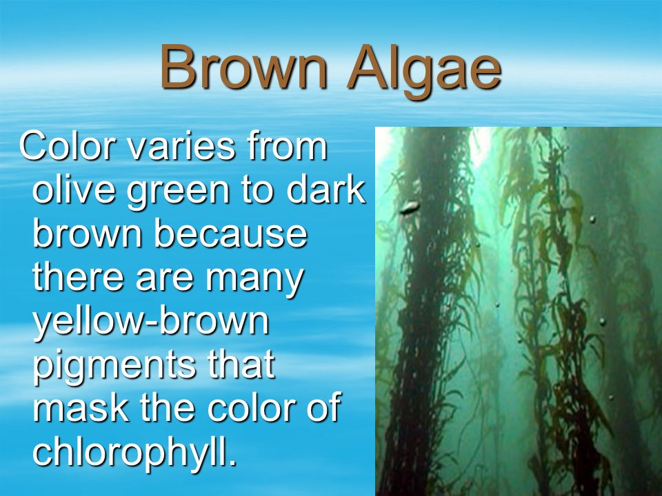 Brown Algae Color varies from olive green to dark brown because there are many yellow-brown pigments that mask the color of chlorophyll.