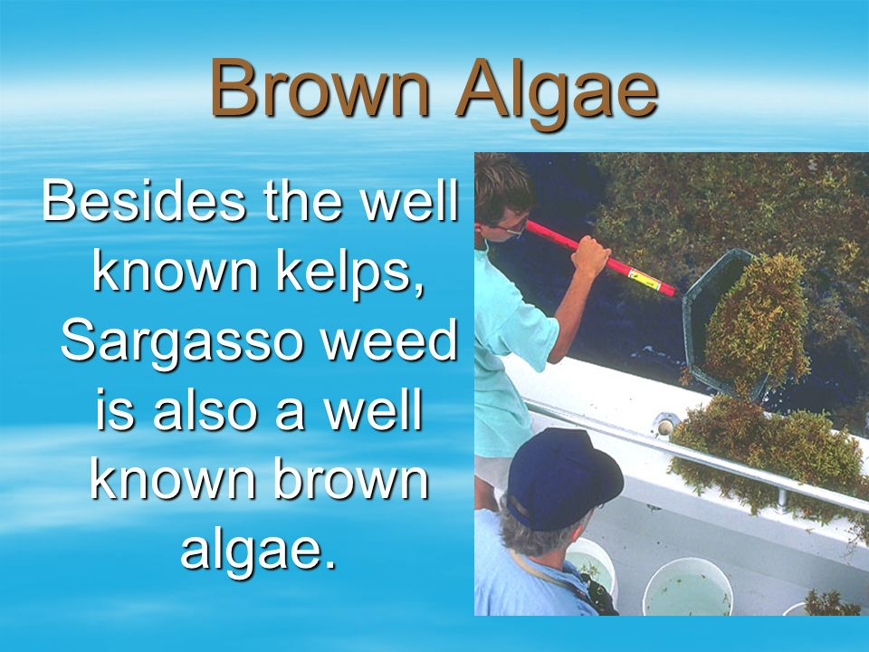 Brown Algae Besides the well known kelps, Sargasso weed is also a well known brown algae.