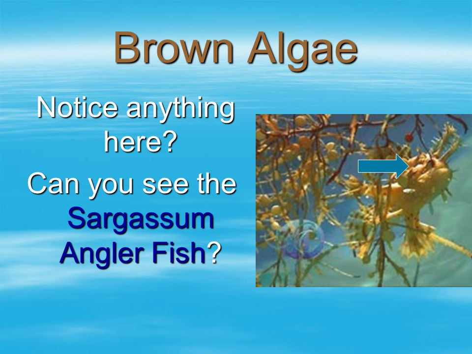 Can you see the Sargassum Angler Fish