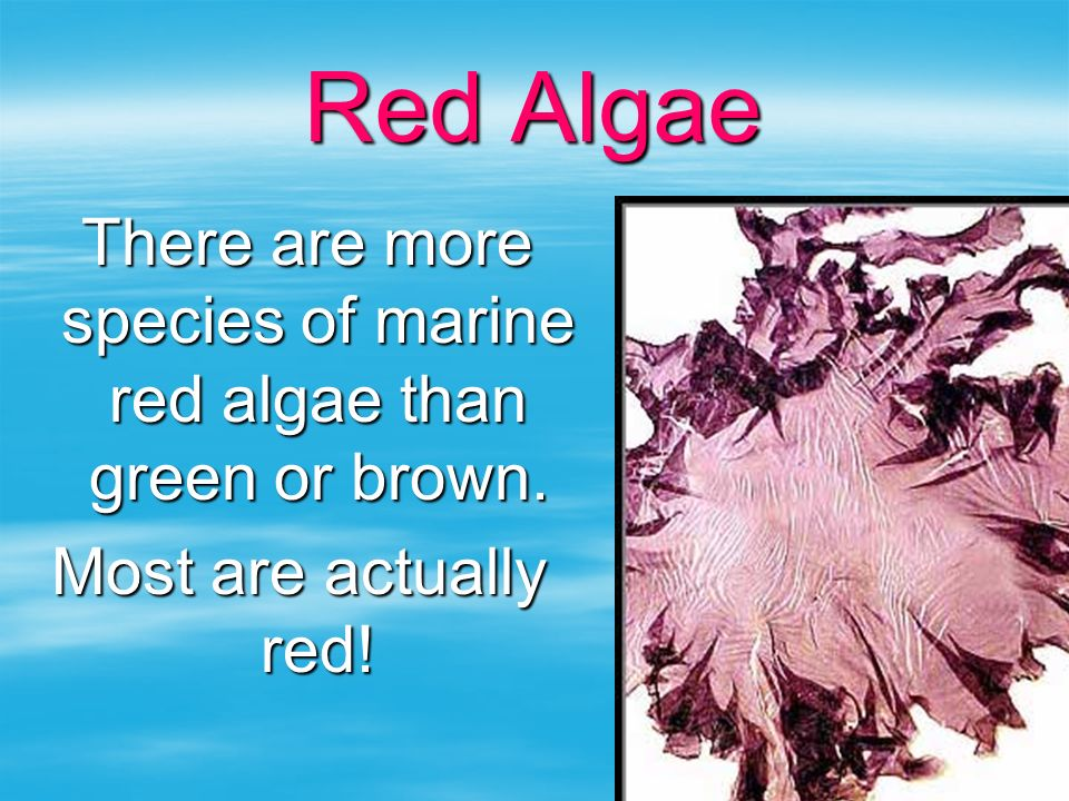 There are more species of marine red algae than green or brown.