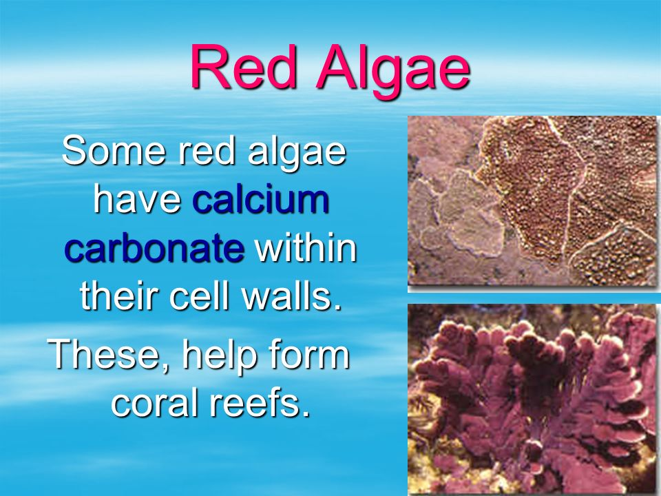 Red Algae Some red algae have calcium carbonate within their cell walls.
