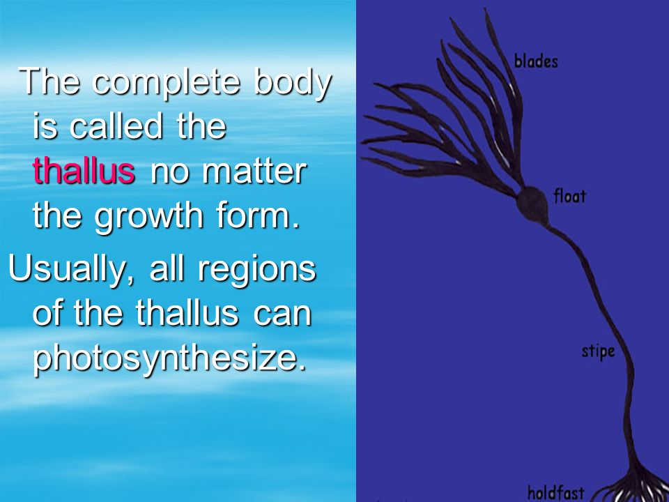 The complete body is called the thallus no matter the growth form.