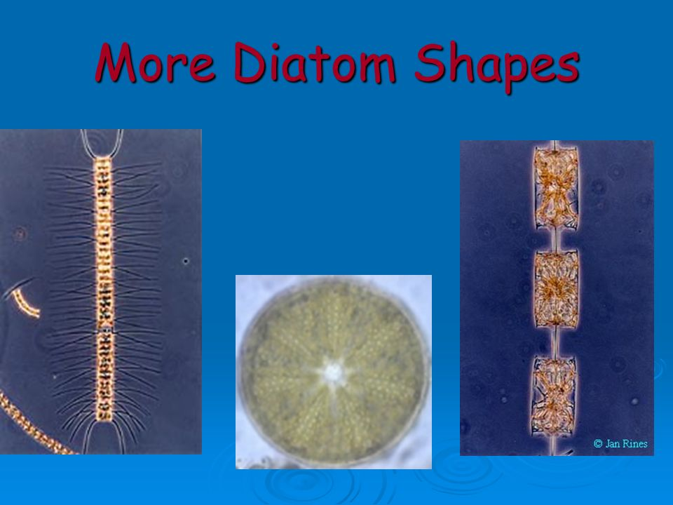More Diatom Shapes