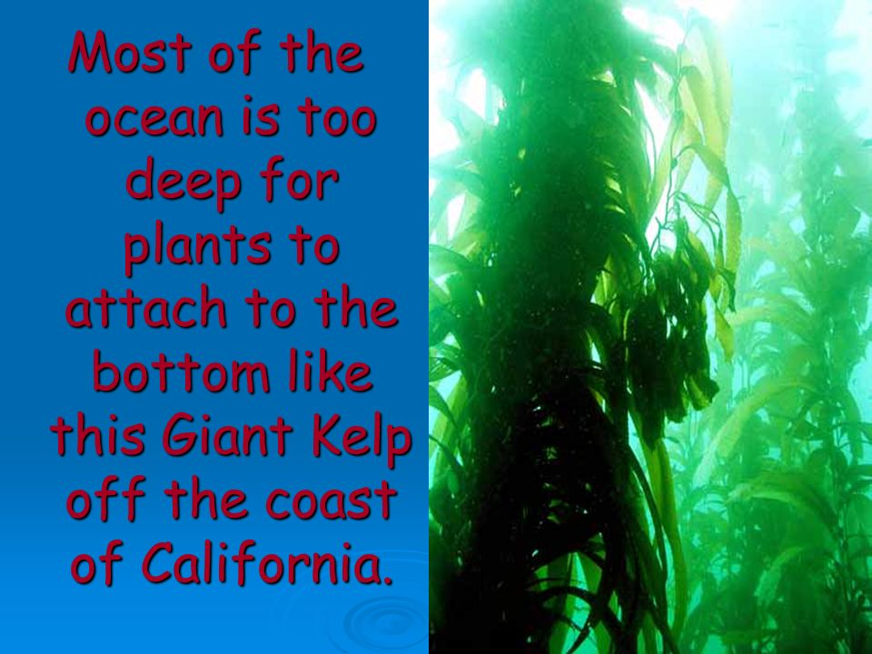 Most of the ocean is too deep for plants to attach to the bottom like this Giant Kelp off the coast of California.