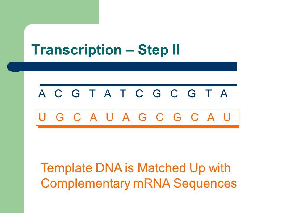 Transcription – Step II