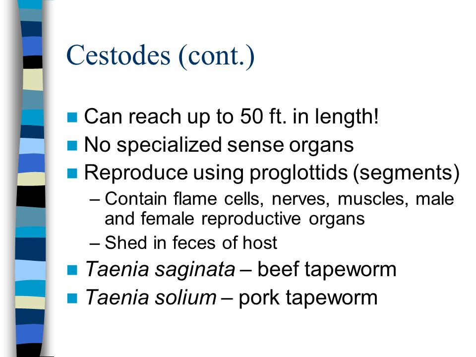 Cestodes (cont.) Can reach up to 50 ft. in length!