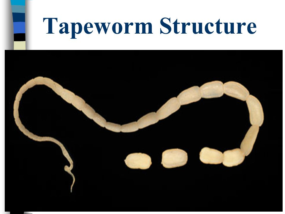 Tapeworm Structure