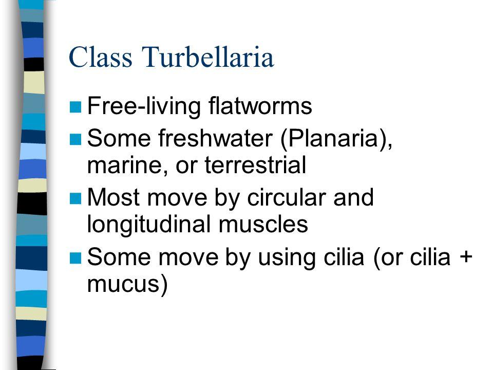 Class Turbellaria Free-living flatworms