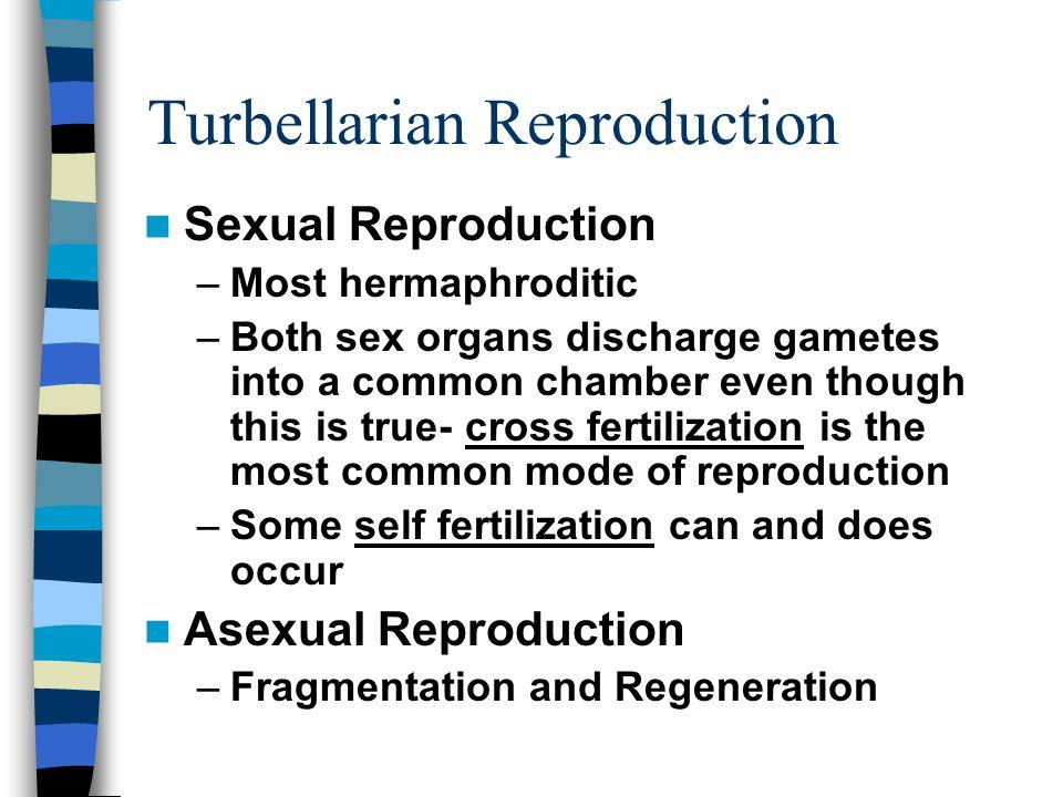 Turbellarian Reproduction