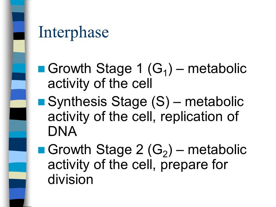 Interphase Growth Stage 1 (G1) – metabolic activity of the cell