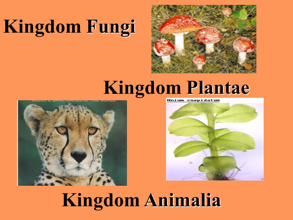 Kingdom Fungi Kingdom Plantae Kingdom Animalia