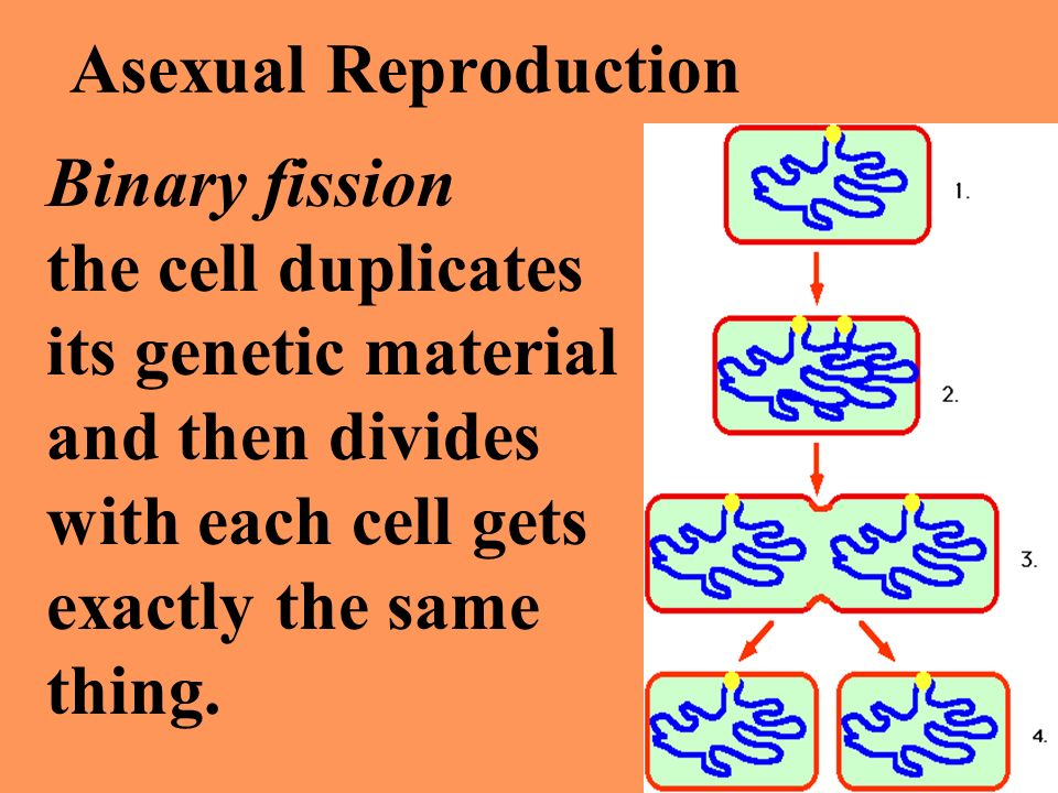 Asexual Reproduction Binary fission. the cell duplicates. its genetic material. and then divides.