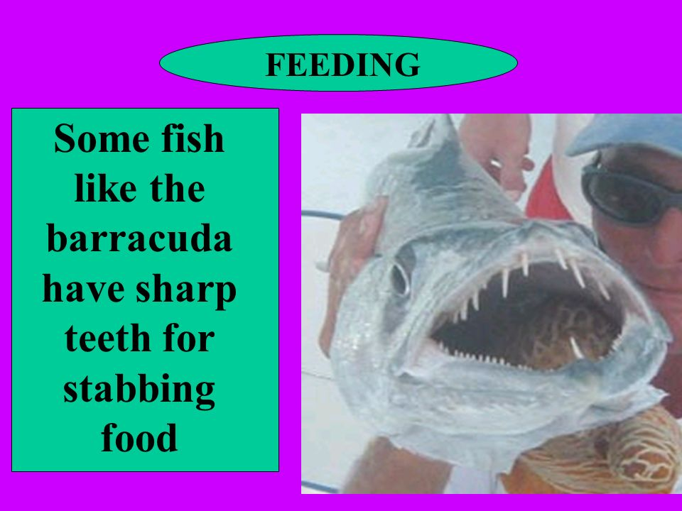Some fish like the barracuda have sharp teeth for stabbing food