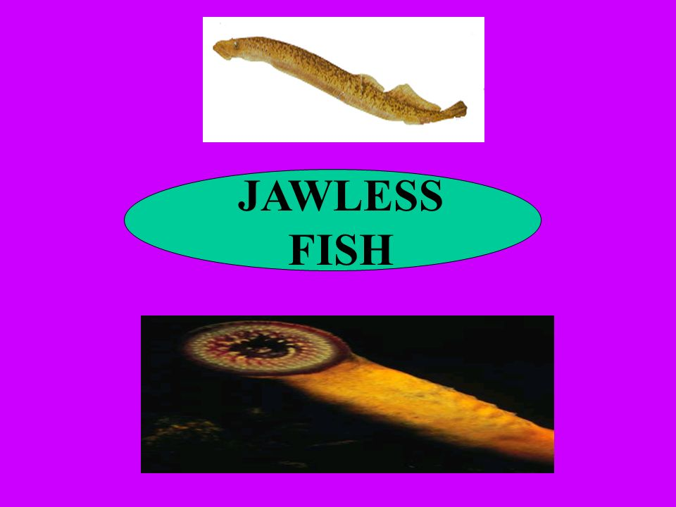 JAWLESS FISH