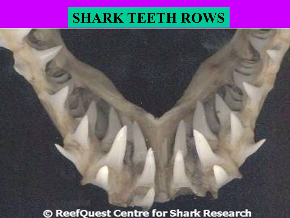 SHARK TEETH ROWS