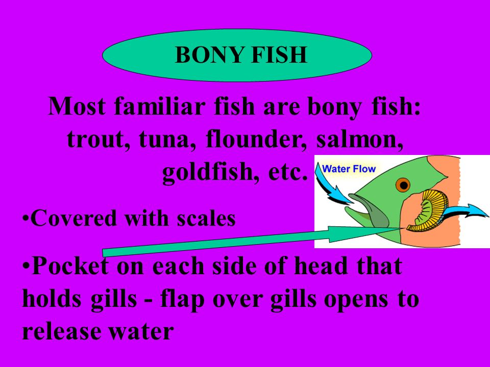 BONY FISH Most familiar fish are bony fish: trout, tuna, flounder, salmon, goldfish, etc. Covered with scales.