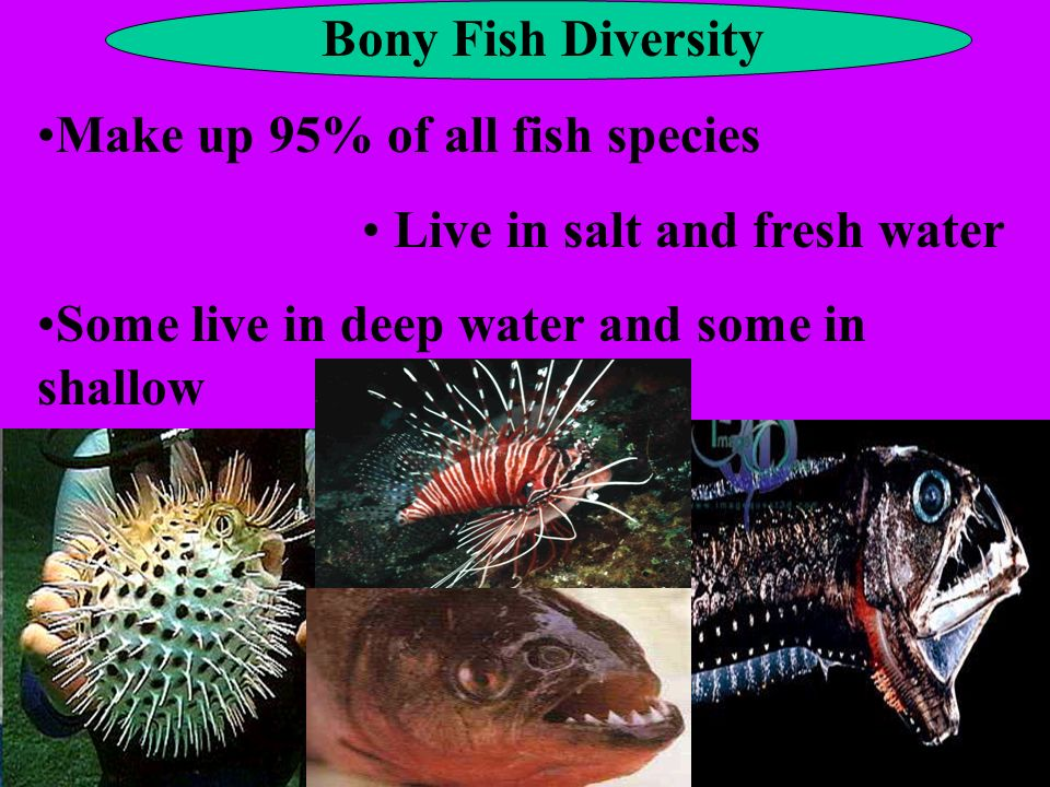 Bony Fish Diversity Make up 95% of all fish species.