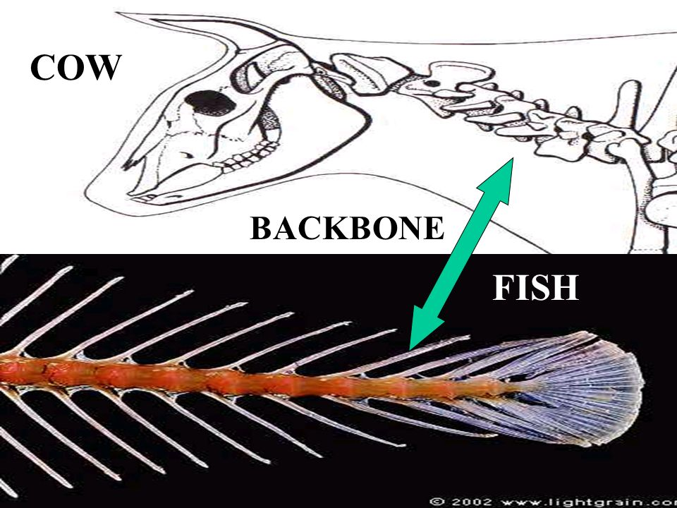 COW BACKBONE FISH