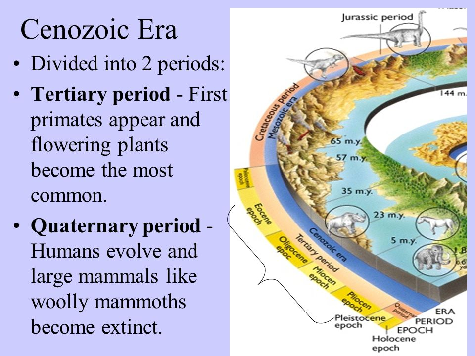 Cenozoic Era Divided into 2 periods: