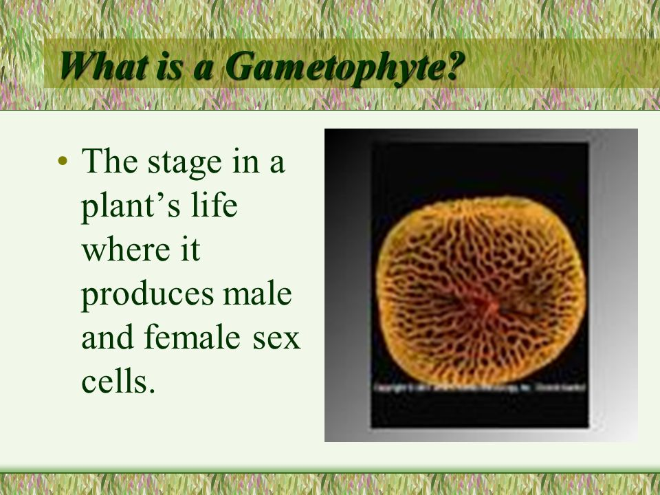 What is a Gametophyte The stage in a plant's life where it produces male and female sex cells.