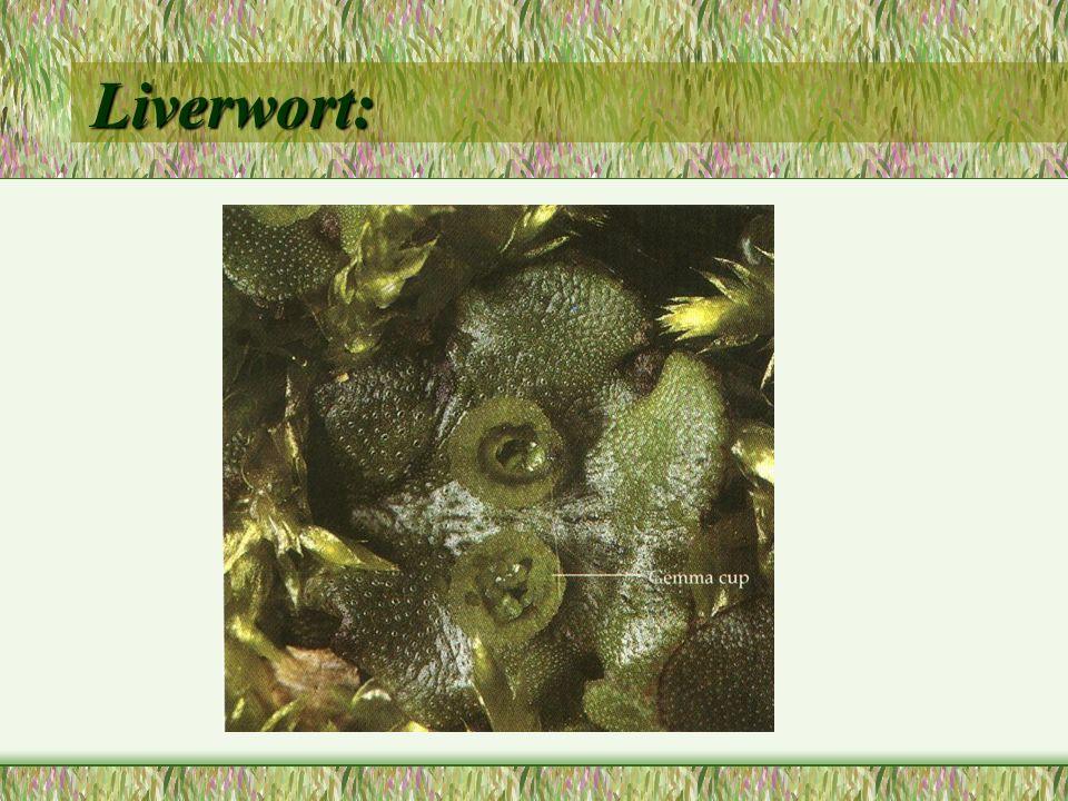 Liverwort: