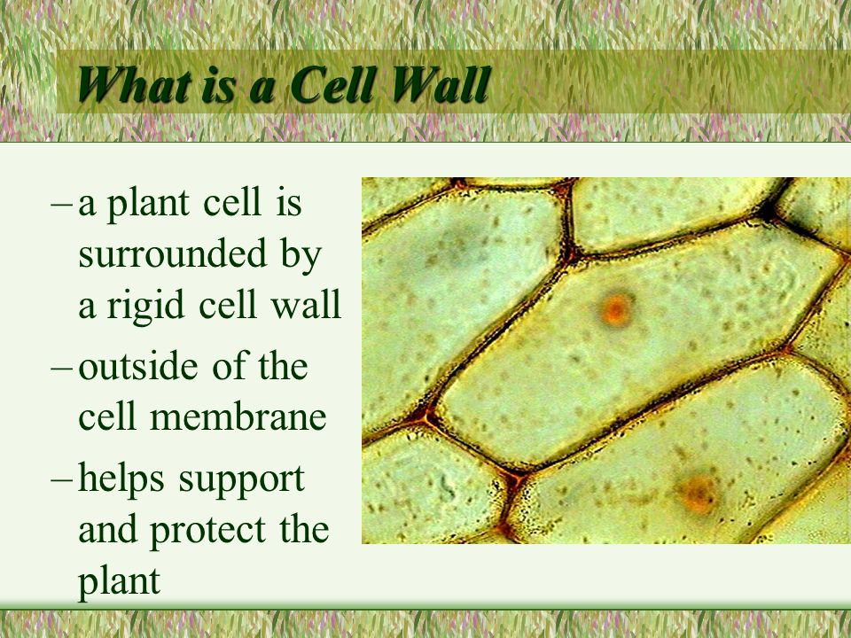 What is a Cell Wall a plant cell is surrounded by a rigid cell wall