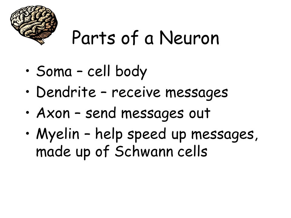 Parts of a Neuron Soma – cell body Dendrite – receive messages