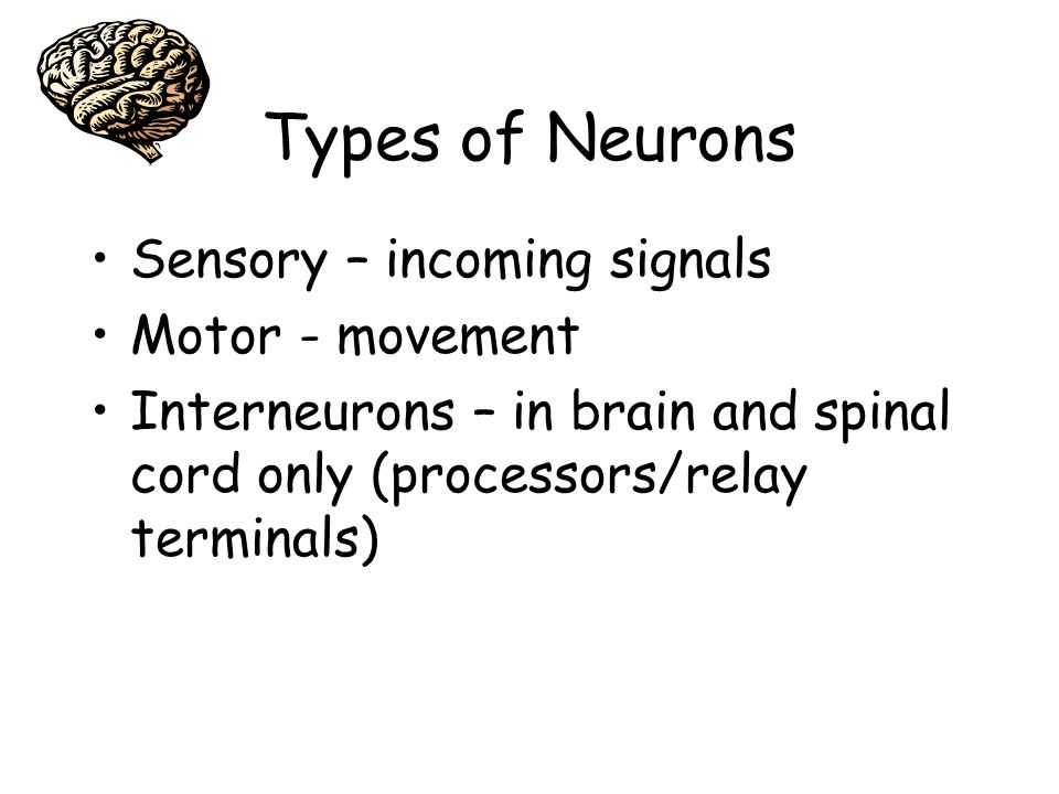 Types of Neurons Sensory – incoming signals Motor - movement