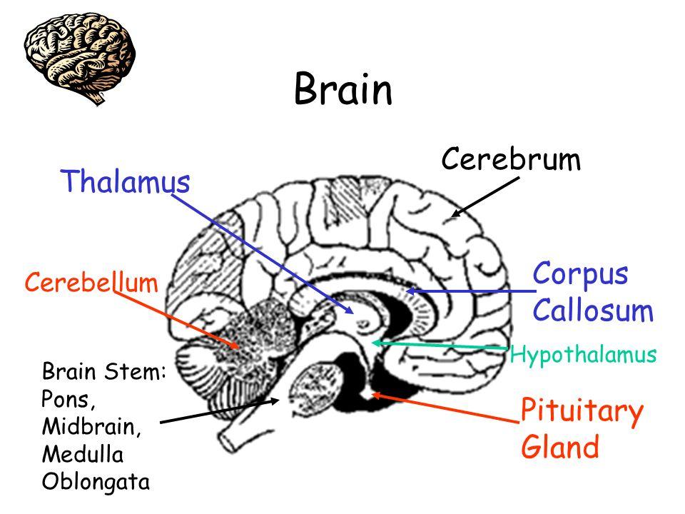 Brain Cerebrum Thalamus Corpus Callosum Pituitary Gland Cerebellum