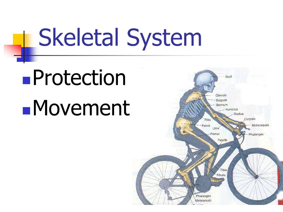Skeletal System Protection Movement