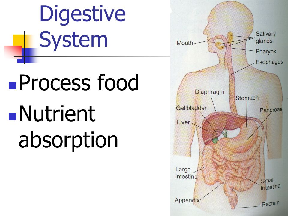 Digestive System Process food Nutrient absorption