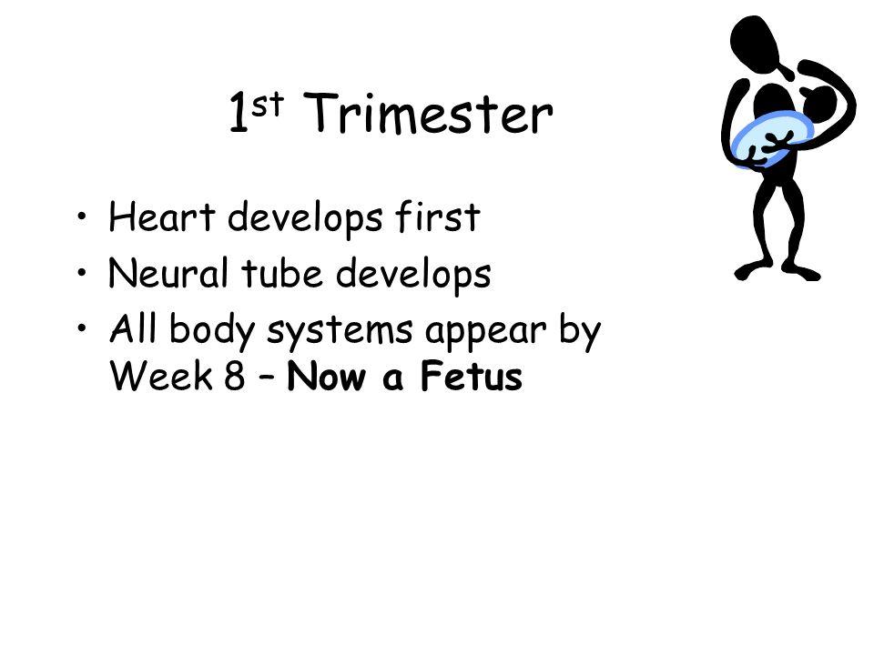 1st Trimester Heart develops first Neural tube develops