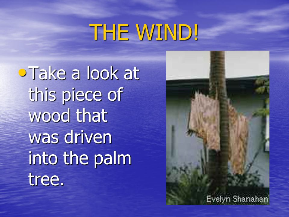 THE WIND! Take a look at this piece of wood that was driven into the palm tree.