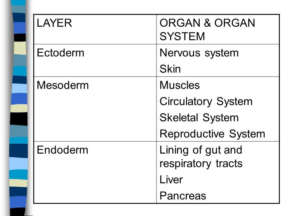 LAYER ORGAN & ORGAN SYSTEM. Ectoderm. Nervous system. Skin. Mesoderm. Muscles. Circulatory System.